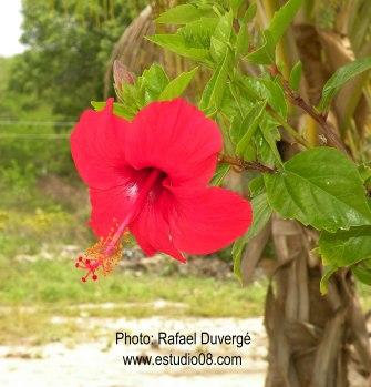 Detalle de Flor de la Cayena(Hibiscus rosa sinensis) en la Isla Saona