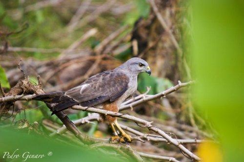 Gavilan en Peligro de Extinción (Buteo ridgwayi( - Los Haitises - Foto Pedro Genaro